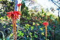 Aloe flowers Alameda Botanic Gardens