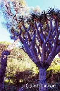 Dragon tree Alameda Botanic Gardens Gibraltar