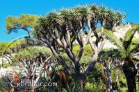 Dragon tree and aloes at Alameda gardens