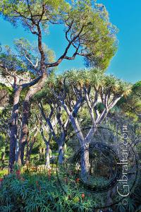 Dragon tree, stone pine and aloes