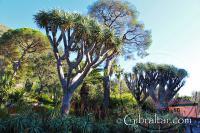 Dragon tree, stone pine and aloes at Alameda