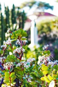 Jade plant Botanic Gardens in Gibraltar