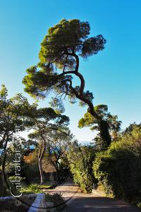 Stone Pine Trees Botanic Gardens Gibraltar