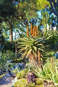 Tree aloe in the Alameda gardens Gibraltar