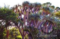 Drago o Árbol Dragón, Jardín Botánico de la Alameda, Gibraltar