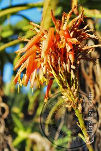 Flor de Aloe, Jardines Botánicos Alameda