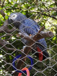 African Grey Parrot at the AWCP in Gibraltar