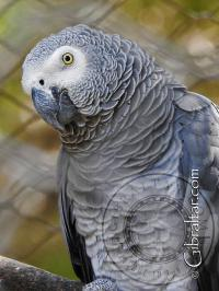 African Grey Parrot at the Alameda Wildlife Park