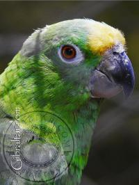 Amazon Green Parrot at the Alameda Wildlife Conservation Park