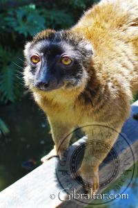 Brown Lemur at the Alameda Wildlife Conservation Park