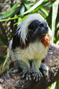 Cotton Top Tamarin at the Alameda Wildlife Conservation Park