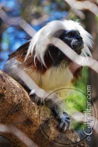 Cotton Top Tamarin at the Alameda Wildlife Park