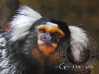 Cotton Top Tamarin at the Alameda Wildlife Conservation Park