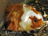 Guinea Pig at the Alameda Wildlife Conservation Park