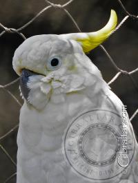 Medium Sulphur Crested Cockatoo Alameda Wildlife Conservation Park