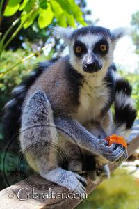Ring Tailed Lemur Eating at Alameda Wildlife Conservation Park
