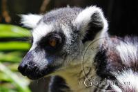 Ring Tailed Lemur Side Portrait Alameda Wildlife Conservation Park