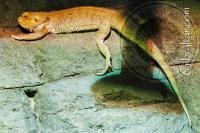 Dragón barbudo central, Parque de Conservación de la Vida Silvestre Alameda