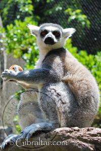 Lémur de Cola Anillada, Parque de Conservación de la Vida Silvestre Alameda