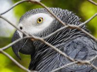 Loro Gris Africano en el Parque de Conservación de la Vida Silvestre Alameda