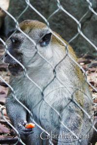 El macaco cangrejero o macaco de cola larga, Parque de Conservación de la Vida Silvestre Alameda