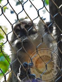 Macaco cangrejero o macaco de cola larga, Parque de Conservación de la Vida Silvestre Alameda