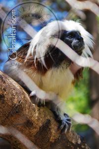 Tití de cabeza blanca en el Parque de Conservación de la Vida Silvestre Alameda.