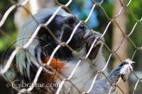Un Tití cabeza blanca, comiendo en el Parque de Conservación de la Vida Silvestre Alameda