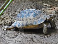 Tortuga de espolón, Parque de Conservación de la Vida Silvestre Alameda