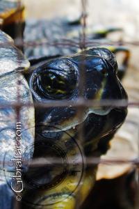 La tortuga griega también conocida como la tortuga de espolón, Parque de Conservación de la Vida Silvestre Alameda