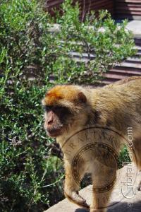 Monkey walking up wall at Apes Den