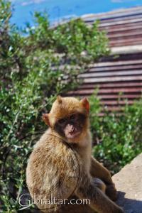 Cría de macaco en Apes Den