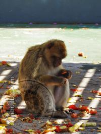 Macaco comiendo en Apes Den - Guarida de los monos