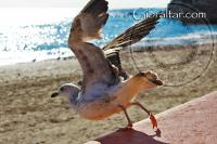 Seagull at Catalan bay in Gibraltar