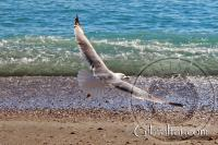 Seagull flying at Catalan Bay