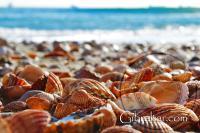 Conchas marinas en Catalan bay, Gibraltar