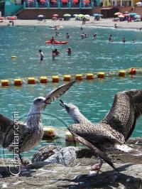 Un par de gaviotas en Catalan Bay de Gibraltar