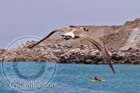 Eastern beach seagull in Gibraltar