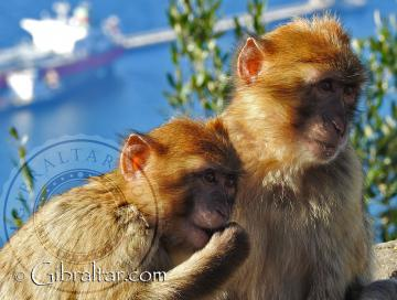 Gibraltar Monkeys | Welcome To Gibraltar