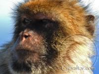 Closeup facial photo of a Gibraltar monkey