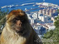 Gibraltar macaque and city view