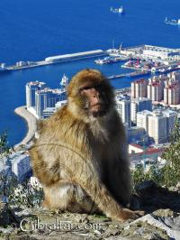 Gibraltar macaque with the city behind