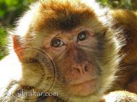 Gibraltar macaque baby closeup