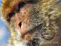Gibraltar macaque facial photo