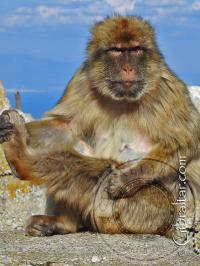 Gibraltar macaque scratching its leg