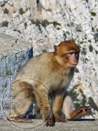 Gibraltar macaque walking at the top station