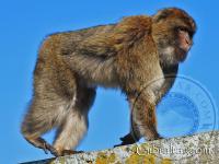 Gibraltar macaque walking