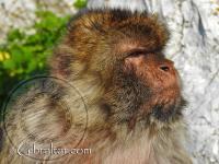 Gibraltar macaque side portrait