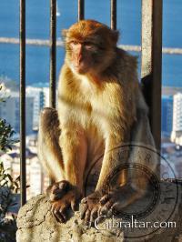 Gibraltar monkey basking in the sun