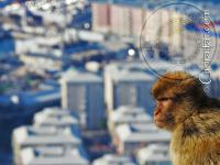 Gibraltar monkey looking at the view